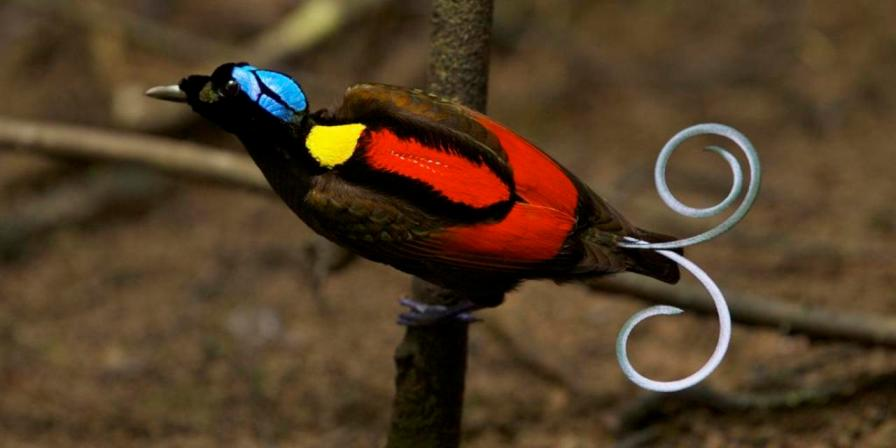 Wilson's Bird of Paradise (Cicinnurus respublica) male on the main display pole in the center of his court, Papua New Guinea